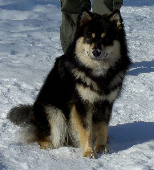Hund til finland